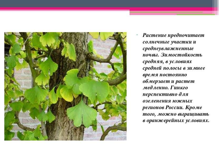 Растение предпочитает солнечные участки и среднеувлажненные почвы. Зимостойко...