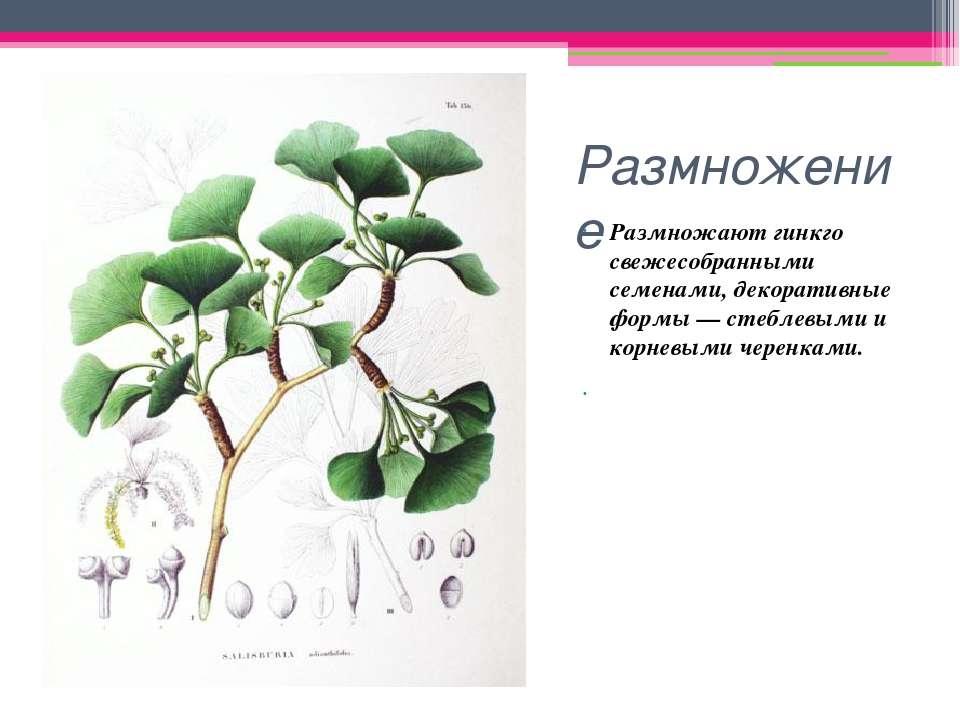 Размножение Размножают гинкго свежесобранными семенами, декоративные формы — ...