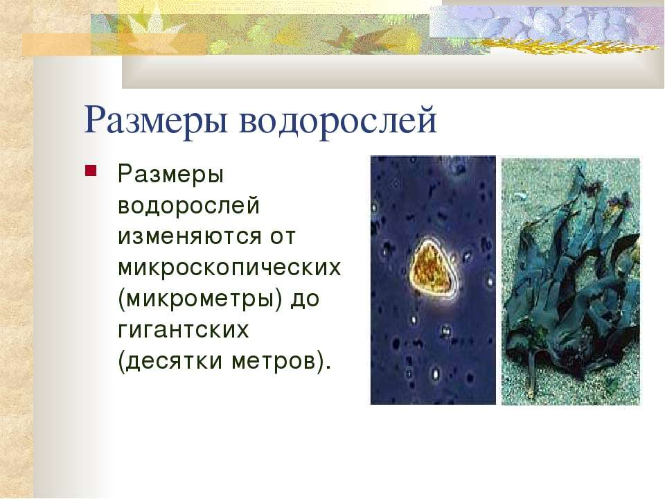 Размеры водорослей Размеры водорослей изменяются от микроскопических (микроме...
