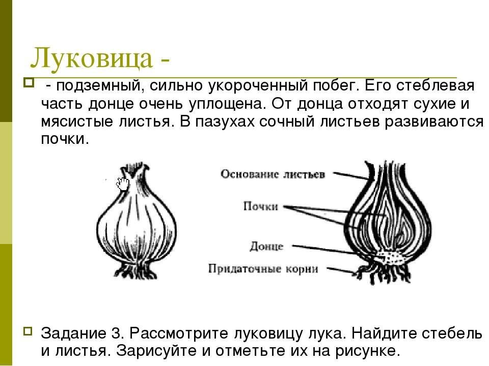 Луковица - - подземный, сильно укороченный побег. Его стеблевая часть донце о...