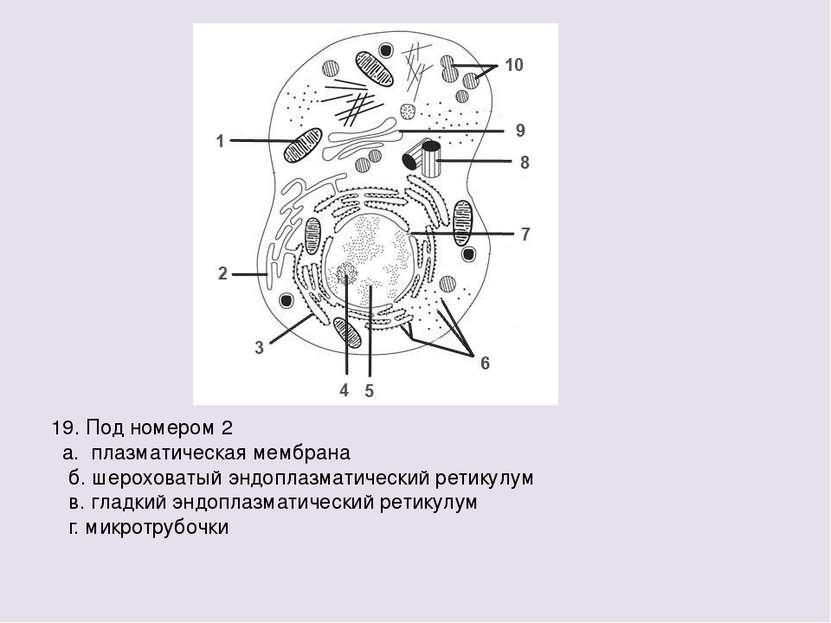 19. Под номером 2 а. плазматическая мембрана б. шероховатый эндоплазматически...