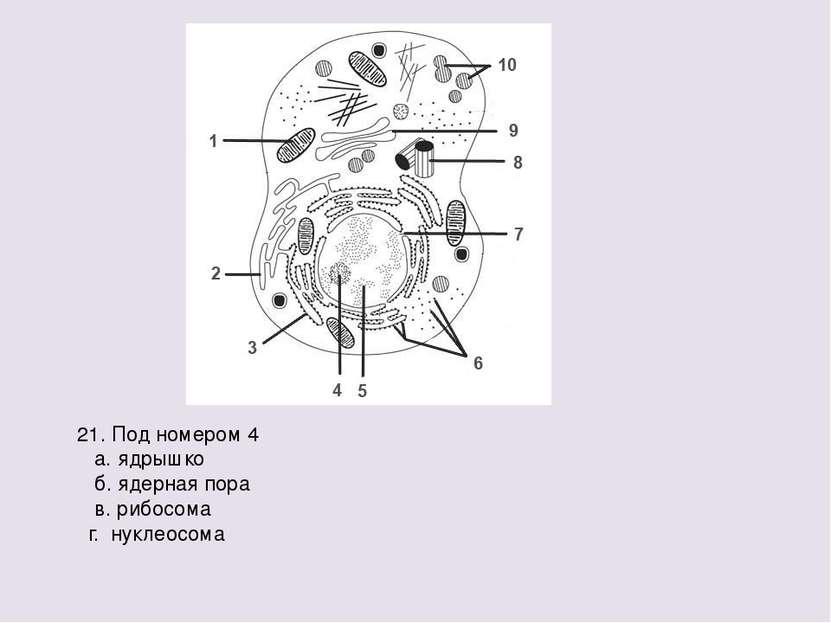 21. Под номером 4 а. ядрышко б. ядерная пора в. рибосома г. нуклеосома