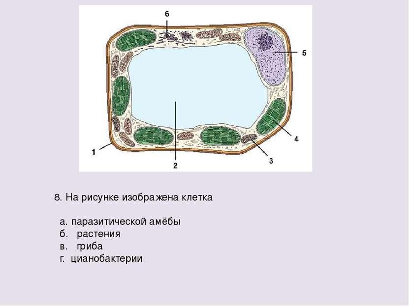 8. На рисунке изображена клетка а. паразитической амёбы б. растения в. гриба ...