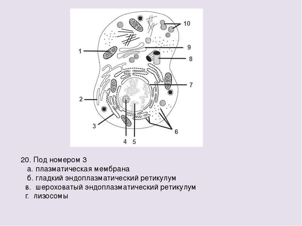 20. Под номером 3 а. плазматическая мембрана б. гладкий эндоплазматический ре...
