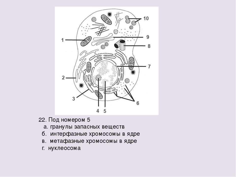 22. Под номером 5 а. гранулы запасных веществ б. интерфазные хромосомы в ядре...