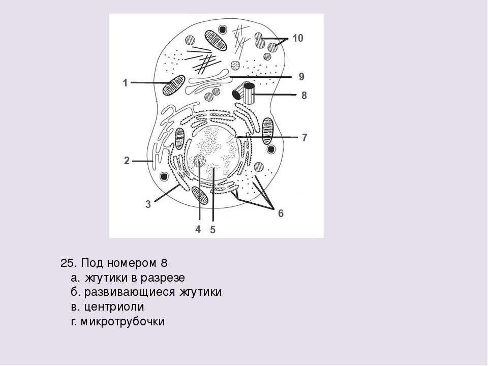 25. Под номером 8 а. жгутики в разрезе б. развивающиеся жгутики в. центриоли ...