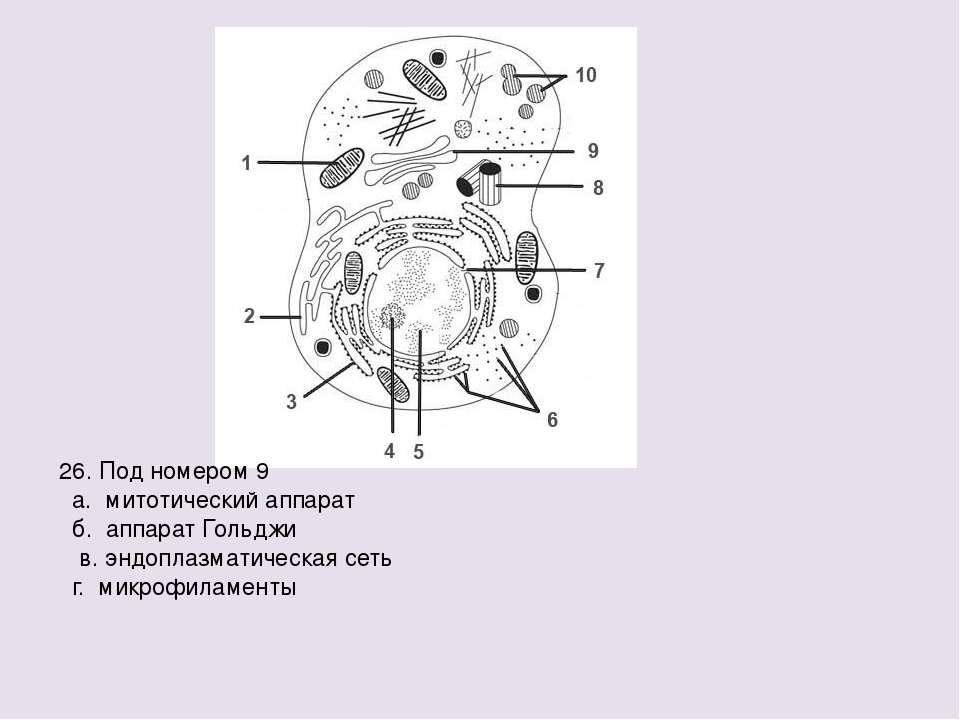 26. Под номером 9 а. митотический аппарат б. аппарат Гольджи в. эндоплазматич...