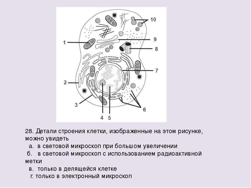 28. Детали строения клетки, изображенные на этом рисунке, можно увидеть а. в ...