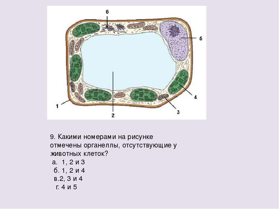9. Какими номерами на рисунке отмечены органеллы, отсутствующие у животных кл...