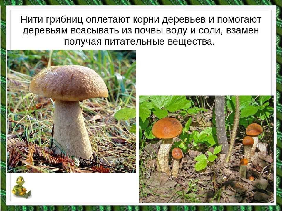 Нити грибниц оплетают корни деревьев и помогают деревьям всасывать из почвы в...
