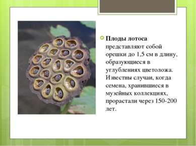 Плоды лотоса представляют собой орешки до 1,5 см в длину, образующиеся в углу...