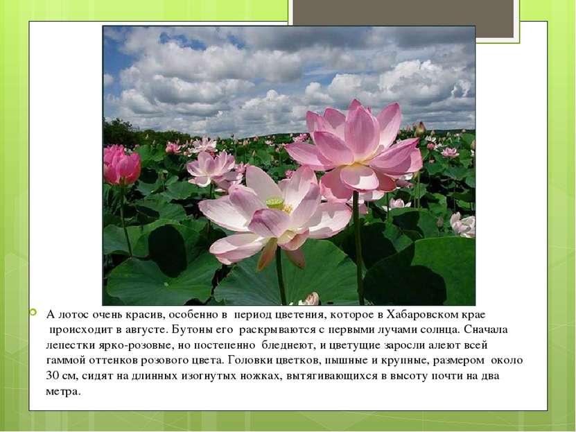 А лотос очень красив, особенно в период цветения, которое в Хабаровском крае...