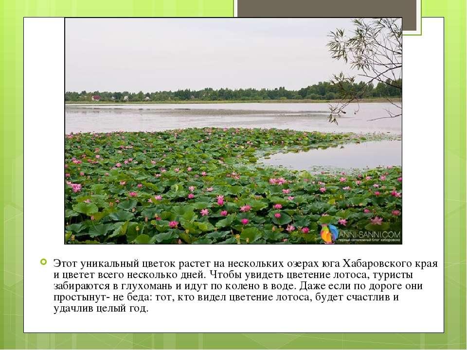 Этот уникальный цветок растет на нескольких озерах юга Хабаровского края и цв...
