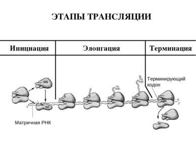 Матричная РНК Терминирующий кодон Инициация Элонгация Терминация ЭТАПЫ ТРАНСЛ...