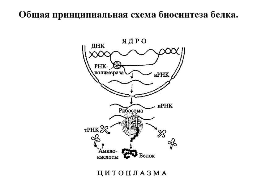Общая принципиальная схема биосинтеза белка.