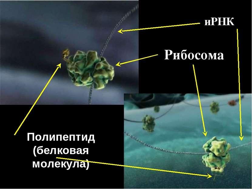 Рибосома Полипептид (белковая молекула) иРНК