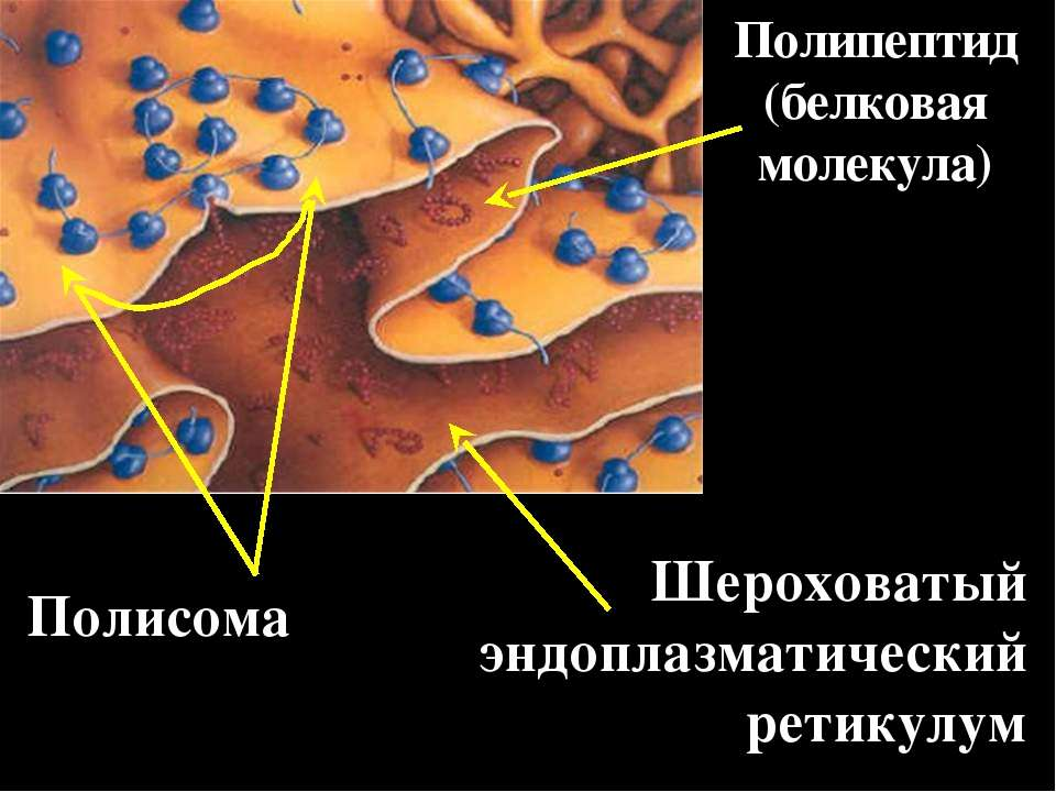 Полисома Полипептид (белковая молекула) Шероховатый эндоплазматический ретикулум