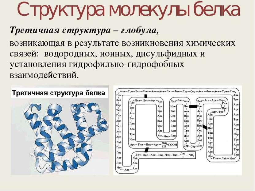 Структура молекулы белка Третичная структура – глобула, возникающая в результ...