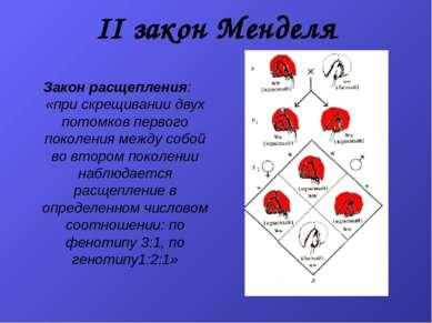 II закон Менделя Закон расщепления: «при скрещивании двух потомков первого по...