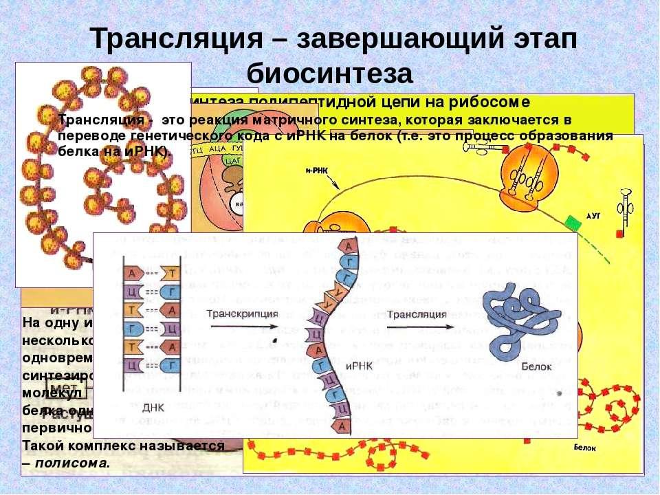 Трансляция – завершающий этап биосинтеза Схема тРНК: А, Б, В, Г – участки ком...