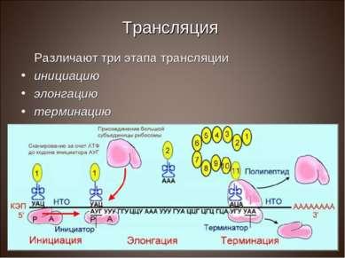 Трансляция Различают три этапа трансляции инициацию элонгацию терминацию