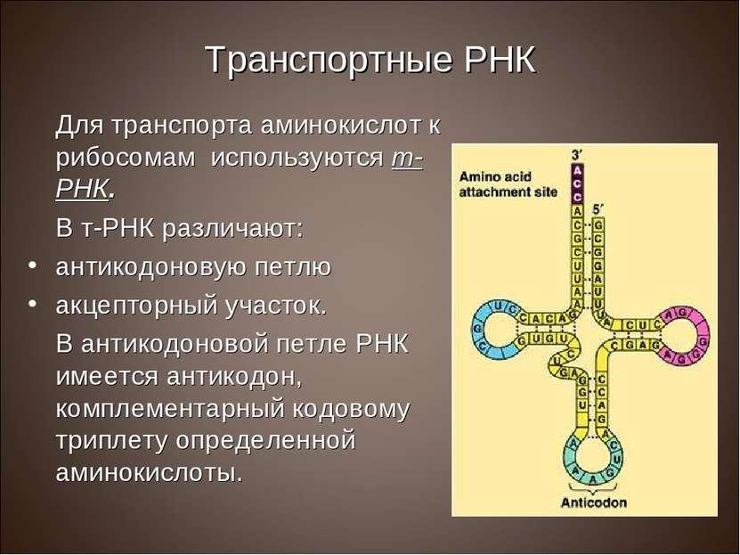 Транспортные РНК Для транспорта аминокислот к рибосомам используются т-РНК. В...