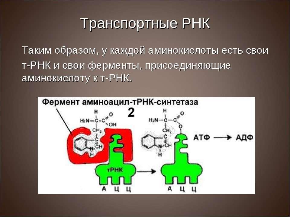 Транспортные РНК Таким образом, у каждой аминокислоты есть свои т-РНК и свои ...