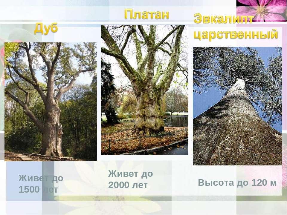 Живет до 1500 лет Живет до 2000 лет Высота до 120 м