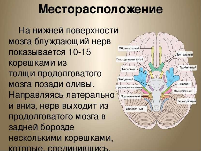 Месторасположение На нижней поверхности мозга блуждающий нерв показывается 10...