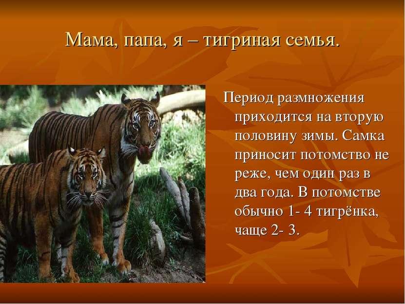 Мама, папа, я – тигриная семья. Период размножения приходится на вторую полов...