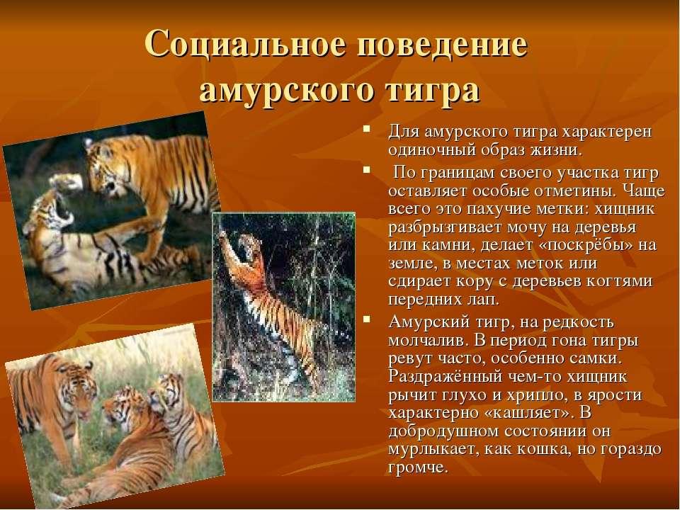 Социальное поведение амурского тигра Для амурского тигра характерен одиночный...