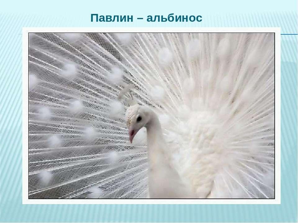Павлин – альбинос