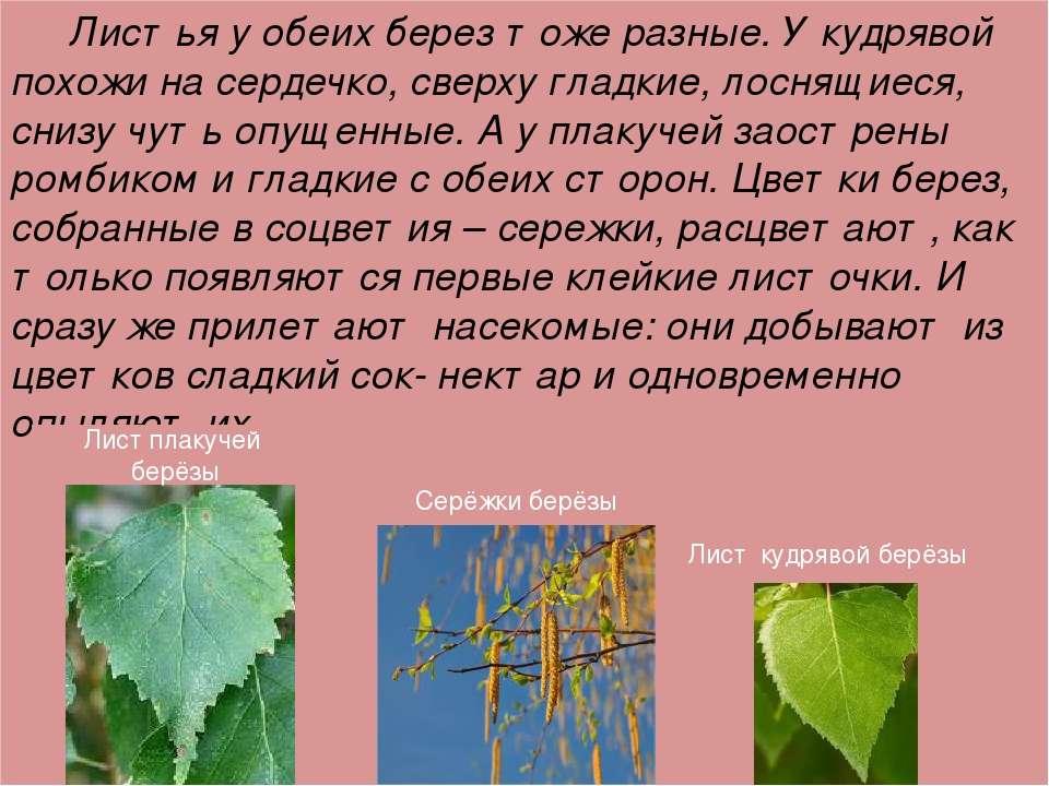 Листья у обеих берез тоже разные. У кудрявой похожи на сердечко, сверху гладк...