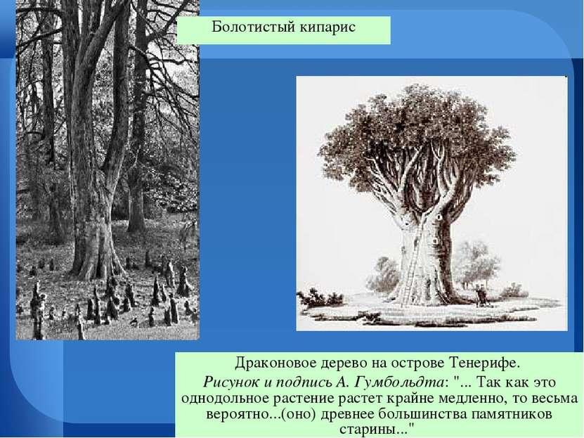 """Драконовое дерево на острове Тенерифе. Рисунок и подпись А. Гумбольдта: """"... ..."""