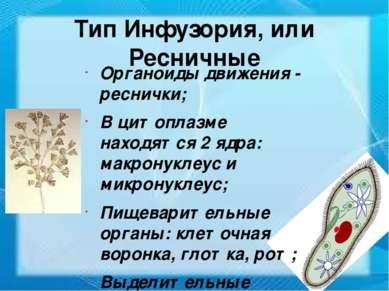 Тип Инфузория, или Ресничные Органоиды движения - реснички; В цитоплазме нахо...