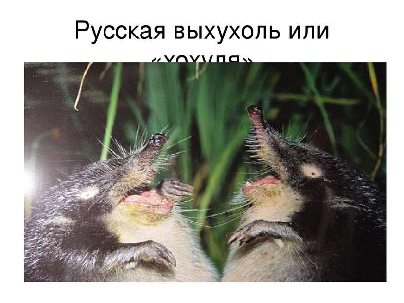 Русская выхухоль или «хохуля»