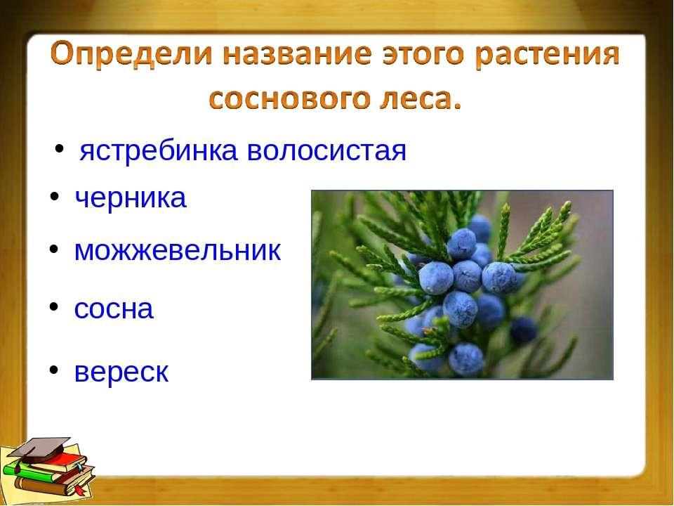черника ястребинка волосистая можжевельник сосна вереск