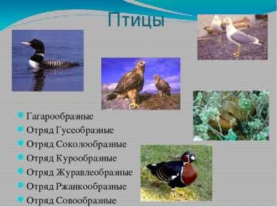 Птицы Гагарообразные Отряд Гусеобразные Отряд Соколообразные Отряд Курообразн...