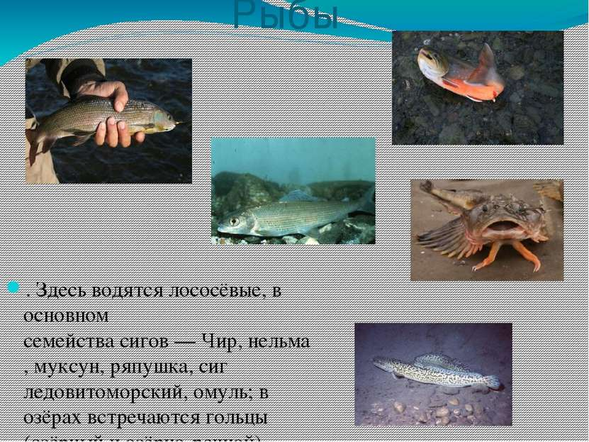 Рыбы . Здесь водятся лососёвые, в основном семействасигов—Чир,нельма,мук...