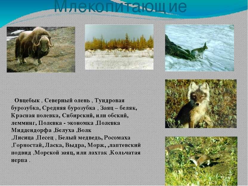 Млекопитающие Овцебык , Северный олень , Тундровая бурозубка, Средняя бурозуб...