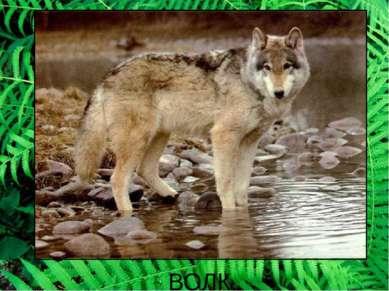 ВОЛК. А так воет серый волк. А еще он умеет лаять, ведь он родственник собаки.