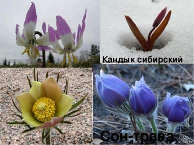 Кандык сибирский Сон-трава