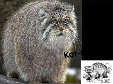 Кот-манул