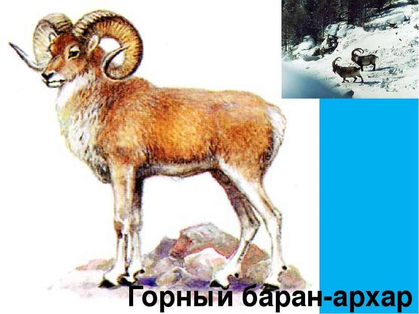 Горный баран-архар