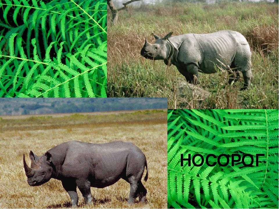 НОСОРОГ Чёрный носорог белый носорог белый носорог – очень мирное животное. О...