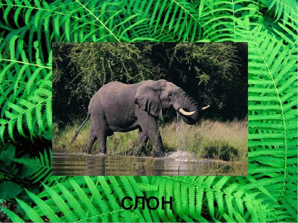СЛОН Слон слон умеет быстро бегать, хорошо плавает. Когда слон идет по лесу –...