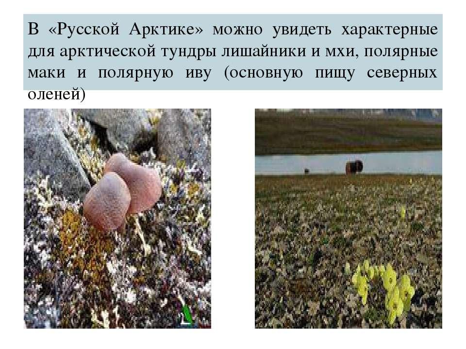 В «Русской Арктике» можно увидеть характерные для арктической тундры лишайник...