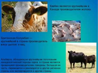 Альберта, обладающая крупнейшим поголовьем канадской мясной породы коров в ст...