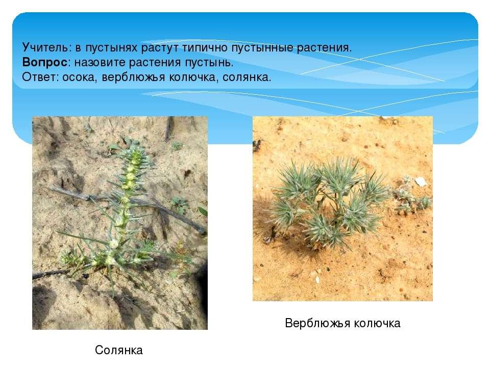Учитель: в пустынях растут типично пустынные растения. Вопрос: назовите расте...