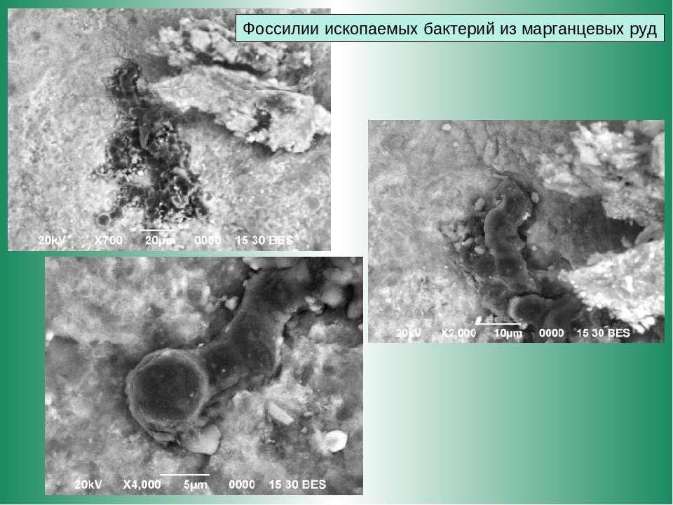 Фоссилии ископаемых бактерий из марганцевых руд